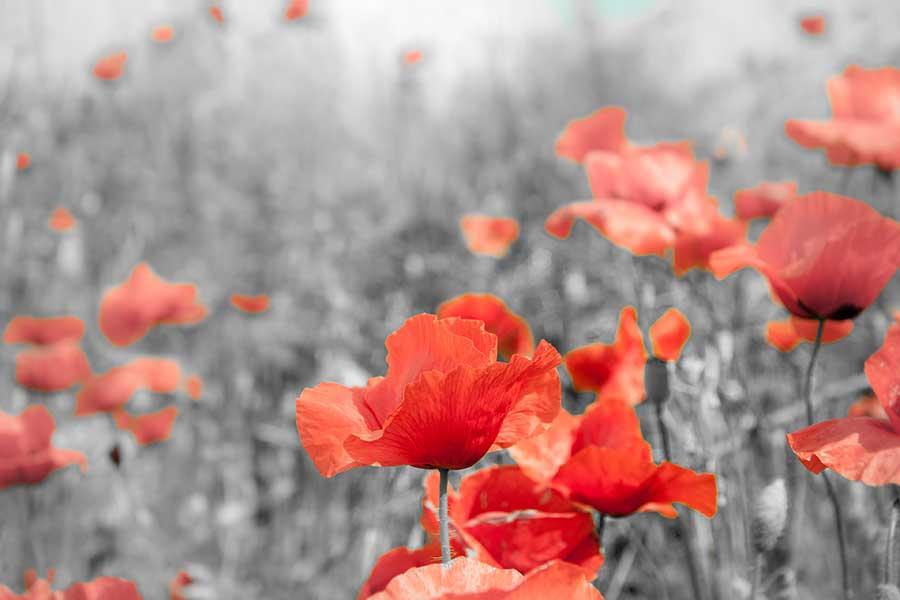 Humanist memorial ceremonies - photo of poppies